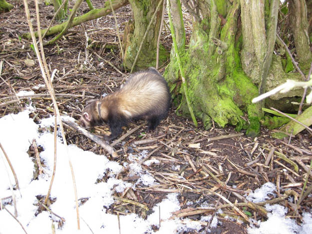 polecat in the snow
